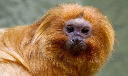 Salles publica vídeo Amazônia não está queimando com mico que não habita Amazônia